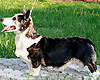 Welsh corgi cardigan brindle pointed tricolor