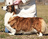 Welsh corgi cardigan Puddleduck Merrymoon HERE'S LOOKIN AT YA KID