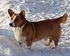 red and white welsh corgi cardigan