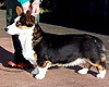 Welsh corgi cardigan tricolor