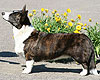 Welsh corgi cardigan brindle