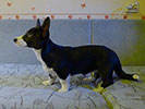 Welsh corgi cardigan puppy Zhacardi ARIADNA with her owners