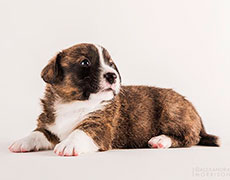 Welsh corgi cardigan puppy brindle Zhacardi