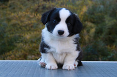 Welsh corgi cardigan tiger puppy Zhacardi ILAY