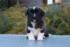 Welsh corgi cardigan tiger puppy Zhacardi IYA
