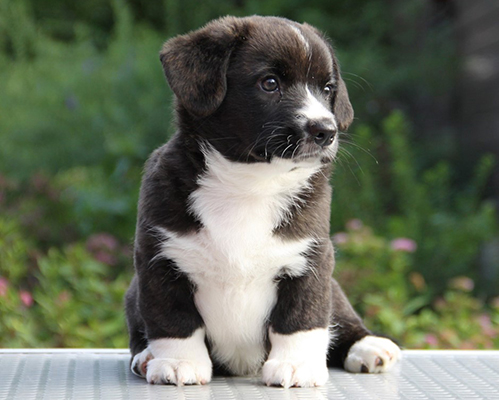 Welsh corgi cardigan puppy, girl brindle Zhacardi KAMILLA
