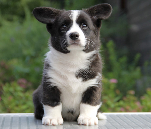 Welsh corgi cardigan puppy, girl brindle Zhacardi KATALEYA