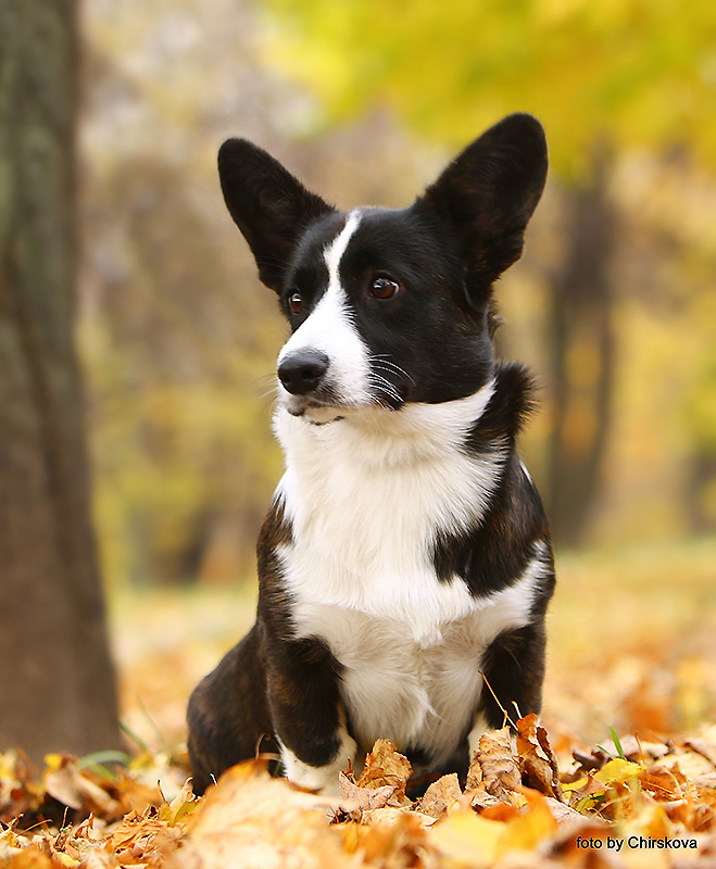Welsh corgi cardigan puppy, girl kennel Zhacardi
