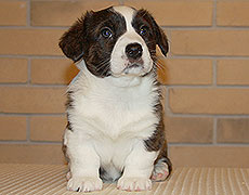 Welsh corgi cardigan brindle puppy Zhacardi ЖАДЕ